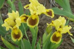 1516-iris-pumila-rasimus