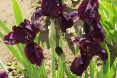 1517-iris-pumila-pastel