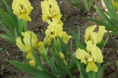 1521-iris-pumila-sunshine