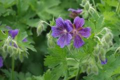 1749-geranium