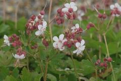 1756-geranium