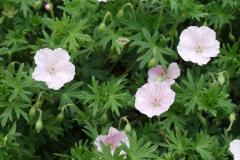 1759-geranium