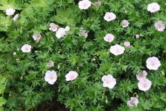 1760-geranium