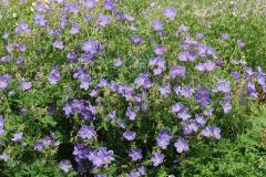 1761-geranium