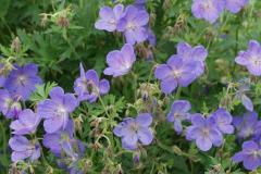 1762-geranium