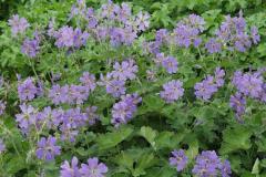 1763-geranium