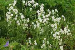 1766-geraniumphaeumalba