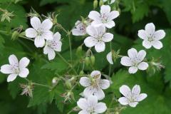 1796-geranium