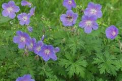 1798-geranium