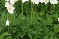 1801-anemone