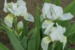 1888-iris-pumila