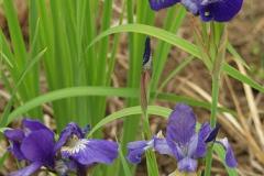 1892-iris-sibirica
