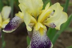1896-iris-germanica