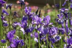 1_1419-iris-sibirica