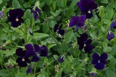 4140-viola-cornuta