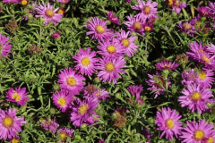 4656-aster
